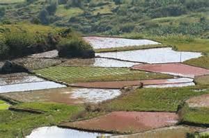 Rice fields in water ponds Phillipines