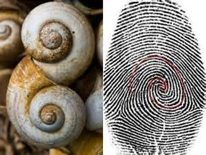 Fibonacci in fingerprint