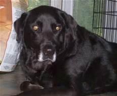Dog old labrador